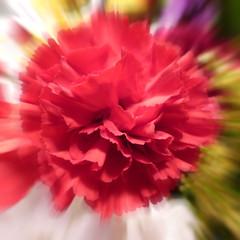 carnation (Eric.Ray) Tags: flowers red project square lumix photo panasonic 365 macromavenscloseup