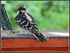 Downy Woodpecker - Photo Taken by STEVEN CHATEAUNEUF With Extra HDR, Sharpness, And Saturation Added - Photography And Editing Done On July 21, 2015 (snc145) Tags: animal bird downywoodpecker nature summer seasons photo highdefinition sharpness saturation editedimage outdoors black white green mahogany stevenchateauneuf autofocus flickrunitedaward soe fun thisphotorocks