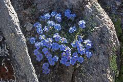 le lit du Roi (luka116) Tags: fleur schweiz switzerland suisse swiss svizzera wallis valais valis 2015 saasgrund florealpine boraginaces hohsaas eritrichiumnanum sileneexcapa erytrichiumnanum