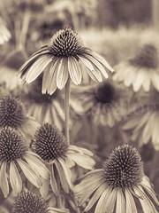 Field of flowers (David Cucaln) Tags: barcelona flowers blackandwhite flores macro blanco 35mm vintage garden y negro jardin olympus retro 2015 e510 cucalon davidcucalon