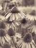Field of flowers (David Cucalón) Tags: barcelona flowers blackandwhite flores macro blanco 35mm vintage garden y negro jardin olympus retro 2015 e510 cucalon davidcucalon