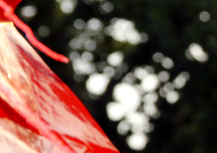 redflaguedetail1 (CloudBuster) Tags: red white detail yellow flags geel rood wit friesland vlaggen dorpsfeest villagefestival burgwerd summer2012 zomer2012