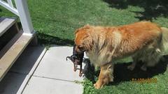 ** Les copains ** -3/3 (Impatience_1 (moins active ad mars)) Tags: dog chien pet animal zipper dexter miniaturepinscher impatience pitou coth bête animaldecompagnie supershot pinschernain coth5