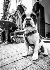 Black and White Bull Dog (JKmedia) Tags: dog pet spain frenchbulldog pavement cafe table wicker onlooker doorway boultonphotography 2016 animal canine ears cuddly cute bw blackwhite blackandwhite monotone monochrome portrait