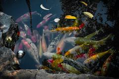 2016_04-Bangkok-M00166 (trailbeyond) Tags: animal architecture asia bangkok building carp fish freshwaterfish location marine outdoors pond recliningbuddha religiousbuilding temple thailand watpho