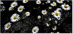 Flowers In the Black (Sigpho) Tags: flowers sigpho nikon