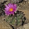 Thelocactus bicolor v. pottsii (l.e.violett) Tags: cactus flower cultivated thelocactus bicolor vpottsii arizona pse