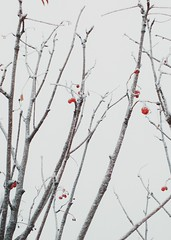 Frosted berries (Andrei Grigorev) Tags: berries branches frost winter nature macro details red gray explore