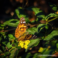 Painted lady... (HLHullPhotography) Tags: butterflies paintedlady insects