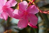 Pink  beauty (Rajavelu1) Tags: flowers plant pink colours macrophotograph canonef100mmf28macroisusmlens canon60d nature beautyofnature creative simplysuperb