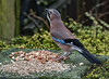 DSC_7215 Jay Feeding (Rattyman76) Tags: jay corvid feeding bird