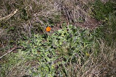 Orange hawkweed at Farm Ridge (Environment + Heritage NSW) Tags: officeofenvironmentandheritage orangehawkweed orangehawkweedcontrolprogram weed weedcontrol weedprogram eradication survey huntinghawkweed hawkweed mouseear volunteers volunteerprogram volunteer