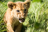 Portrait of lion cub (korzun) Tags: aggressive amazing angry animal attack attacker attacking baby bigears closeup cub face lion lionet little mammal nice portrait predator russia small sweet taigan wild wildlife young zoo