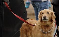 Dog, Danada Forest Preserve. 1 (EOS) (Mega-Magpie) Tags: canon eos 60d nature outdoor dog pet friend danada forest preserve wheaton dupage il illinois usa america