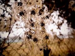 fizzy hair plant (Birkenluke) Tags: plant bush hairy fizzy macro contrast shapes