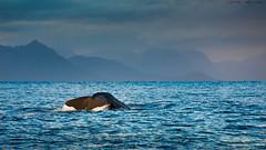 Diving Spermwhale (Kenneth Solfjeld) Tags: andenes spermasetthval spermwhale norway norge northernnorway nordnorge nordland vesterålen ocean sea blue whale mammal