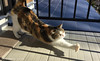 55-09 Calico Japanese cat 縞三毛猫 (SORO 556 by ENJOY DESIGN) Tags: 猫写真 三毛猫 縞三毛 雌ネコ 猫 ネコ 動物 calico cat animal japanese pet kitten
