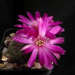 Sulcorebutia crispata RF181 '367' (Pequenos Electrodomésticos) Tags: cactus cacto flower flor sulcorebutia sulcorebutiacrispata