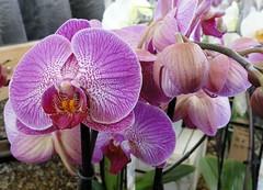 WINTER COLOUR! (hazelisles,(www.youtube.com/user/hazelisles)) Tags: picmonkey macro macroflowers flowers orchids