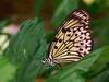Idea leuconoe (henk.wallays) Tags: aaaa arthropoda butterfly falter henkwallays insect lepidoptera mariposa nature schmetterlinge tagfalter tropicalbutterflies vlinders butterflies closeup dagvlinder insecta insecte insekt lepidoptere macro natuur papillon skubvlerkiges sommerfugl vlinder wildlife ô·tia̍p πεταλούδα дневнитепеперуди лускакрылыя тәңкәҡанатлылар күбәләктәр матылі