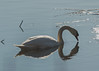 Mute Swan (EHPett) Tags: muteswan whalebonecreek lyme connecticut swam bird outdoor wildlife reflection waterfowl connecicut connecticutriver
