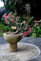 Adenium Obasium, Bali (Manoo Mistry) Tags: nikond5500body nikon tamron18270mmzoom bali indonesia tourism villalumbung seminyak plant flowers