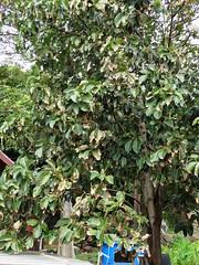 Avocado (Persea americana): Potassium (K) deficiency (Scot Nelson) Tags: avo perseaamericana potassiumdeficiency potassium k leaf scorch marginal edge older