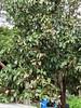 Avocado (Persea americana): Potassium (K) deficiency (Plant pests and diseases) Tags: avo perseaamericana potassiumdeficiency potassium k leaf scorch marginal edge older