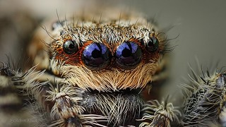 Augen einer Rindenspringspinne (Marpissa muscosa)