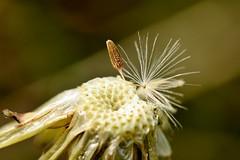 lonesome........ (Suzie Noble) Tags: flower grass garden weed dandelion dandelionclock strathglass struy