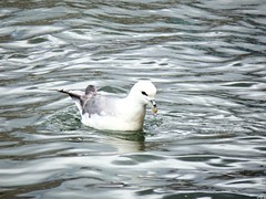 Fulmar or Shetland name Maali (nz_willowherb) Tags: see scotland pier tour visit shetland lerwick northernfulmar fulmarusglacialis maali to go