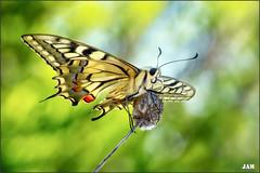 Instinto (- JAM -) Tags: naturaleza flower macro nature insect nikon flor explore jam mariposas d800 insecto macrofotografia explored lepidopteros juanadradas