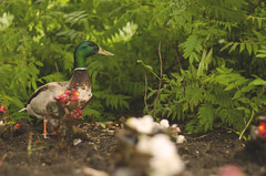 Downtown Duck (flashfix) Tags: flowers ontario canada bird nature leaves animal garden 50mm duck nikon downtown ottawa dirt greens mallard bushes mothernature mallardduck 2015 d7000 nikond7000 2015inphotos june082015