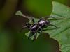 Parson Spider Waiting in Ambush (Bonnie Ott) Tags: spider arachnid herpyllusecclesiasticus parsonspider bonniecoatesott