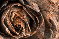 Barking Rose (Bold Frontiers) Tags: wood stilllife orange brown white plant abstract black flower macro texture nature floral colors beautiful beauty rose yellow closeup sepia contrast photomanipulation grit wooden petals flora focus colorful pretty pattern glow colours dof bright vibrant maroon background object grunge curves digitalart surreal curls gritty curly fantasy round ethereal worn weathered glowing treebark concept colourful unreal cracks grime conceptual distressed epic cracked circular textured grungy photomanipulated barking grimy focal somadjinn freestockca nicolasraymond