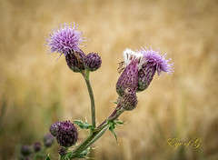 Thistles in a Wheat Field.jpg (Eye of G Photography) Tags: usa mountains macro landscape purple thistle wheat places fields northamerica washingtonstate skagitvalley skyclouds