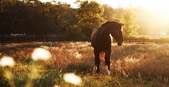 (suzcphotography) Tags: light sunset summer horse animal canon pretty pasture ruby equine hanoverian suzcphotography