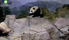 Bei watches Mama Mei's every move  ./sx78.png (heights.18145) Tags: smithsoniansnationalzoo beibei meixiang corner panda bear pandabear cuteanimals bearcubs motheranimals ccncby