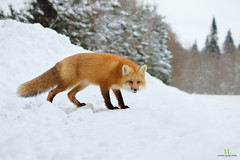 Renard roux - Red fox - Vulpes vulpes (Maxime Legare-Vezina) Tags: mammals mammifere animal nature wild wildlife fauna biodiversity canon forest winter hiver neige snow