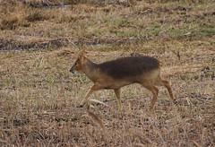 Chinese Water Deer (Prank F) Tags: woodwaltonfen greatfen wildlifetrust huntingdonuk wildlife nature mammal deer chinese water