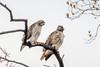 T4 and Mom (wn_j) Tags: birds birding birdsofprey redtailhawk raptors raptor nature naturephotography wildlife wildanimals wildlifephotography franklinhawks franklinhawk phillyhawk philadelphia