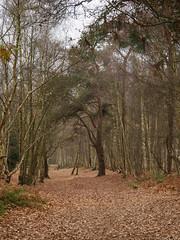 Winter Walk St Marthas EC080317_04 (tony.rummery) Tags: autumncolours em10 guildford leaves mft microfourthirds omd olympus stmarthas surreyhills woods chilworth england unitedkingdom gb
