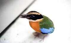Pretty Bird (awee_19) Tags: bird singapore colourful