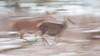 Running deer ... (Alex Verweij) Tags: deer running fast snel hert herten edelherten femaile move beweging oostvaardersplassen alexverweij almere nature natuur