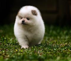 pomeranian puppy (sandilesmana28) Tags: pomeranian puppy dog cute white 7 week