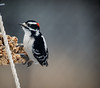 Mr.Woodpecker (brendacyr) Tags: backyardbirds birds smallbirds winter woodpecker