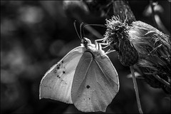 DRD160807_0131 (dmitry_ryzhkov) Tags: lepidoptera butterfly summer russia moscow blackandwhite bw monochrome art europe geotagged light lights shadow shadows live photo photography photos sony alpha wild wildlife life moment moments nature naturephoto naturephotography natureshot natureimage natureshots close closeup closeupshot closeupshots closeupphoto closeupphotography macro macrophoto macrophotos macrophotography macroshot macroimage macroshots small micro little entomology entomologist biologist biology zoology botany fauna flora enviropment bug bugs animal animals animalphotography animalphoto animalshot animalshots animalimage insect insects inhabitant inhabitants flower flowers outdoor outdoors