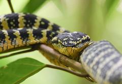 Wagler's Pit-viper (female) (olyaterekhova) Tags: nature singapore bukit timah park snake waglers pitviper female