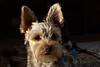 Mojo-3 (alhughes54) Tags: mojo yorkiepoo dog petportraiture puppies puppy smokeilluminations