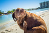 IMG_1960 (megscapturedtreasures) Tags: ammo sun sunset dog beach dogs ruff days daycare